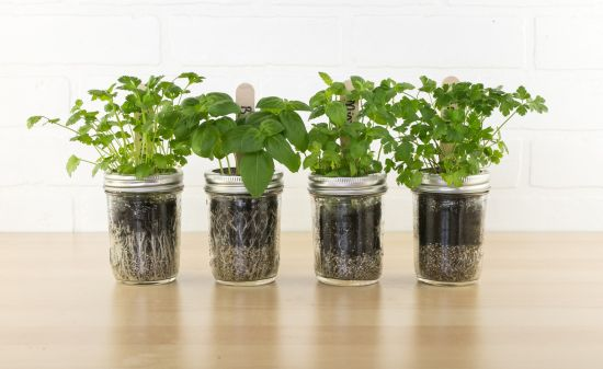 Diy Indoor Herb Garden Simple Herbs Grown In Mason Jars